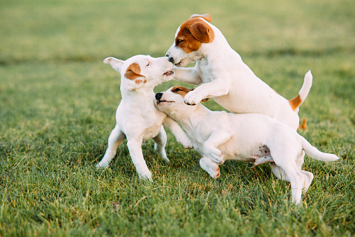 Three Jack Russell puppies play on the grass. 1177008347
