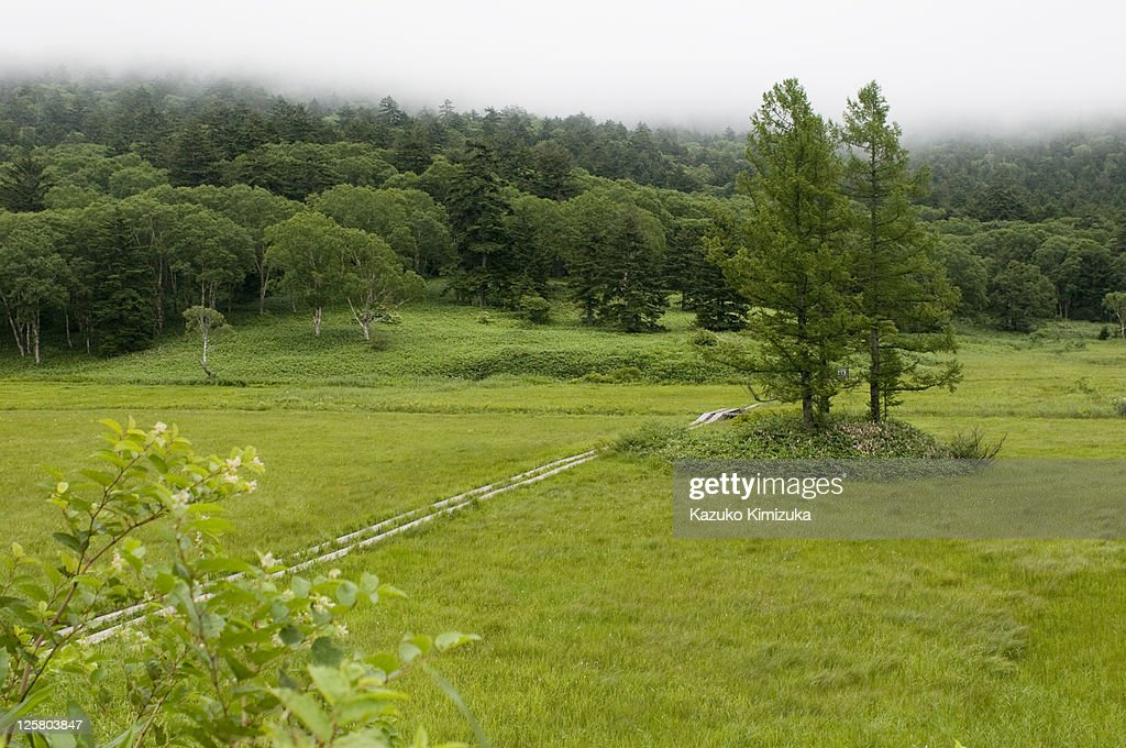 Three Japanese cedars in the marshland : Stock Photo