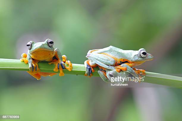Three javan gliding tree frogs on a plant, Indonesia