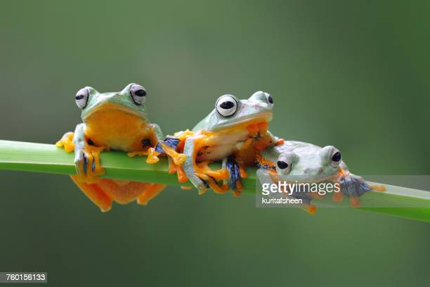 three javan tree frogs on a plant, indonesia - tree frog stock pictures, royalty-free photos & images