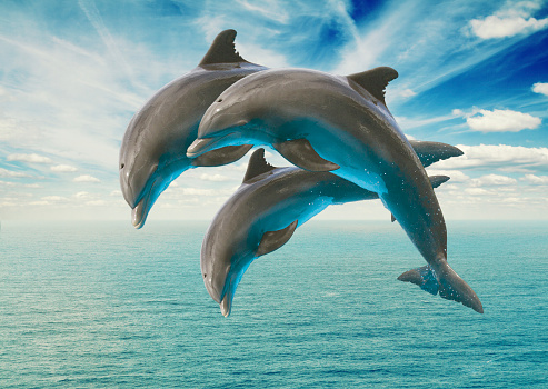 three  jumping dolphins 470633098