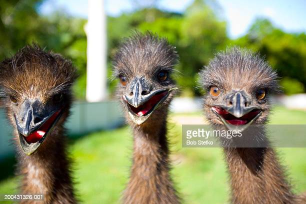 Three juvenile Emus  (Dromaius novaehollandiae), close-up