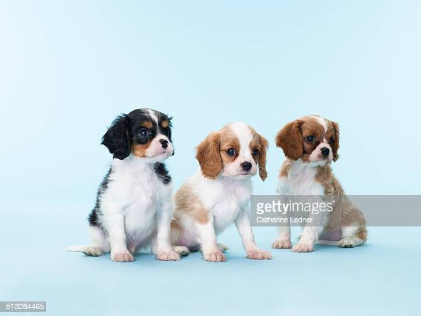 Three King Cavalier Young Puppies on Blue Seamless