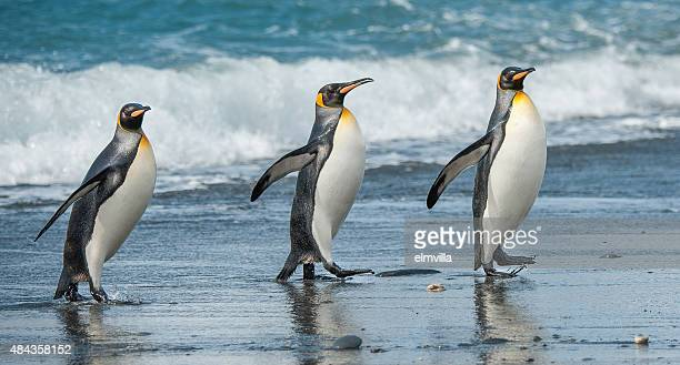Pinguine am Strand zu Fuß drei King-Size-Bett im South Georgia