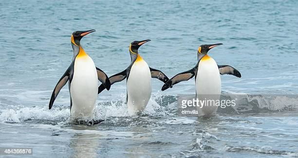 three king penguins in the sea of south georgia - pinguïn stockfoto's en -beelden