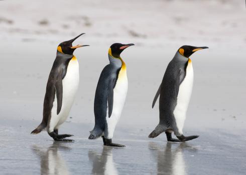 Three King Penguins on a beach 157310289