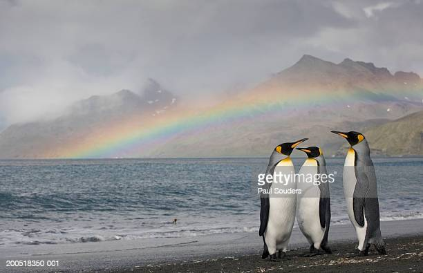 three king penguins (aptenodytes patagonicus) on shoreline - koningspinguïn stockfoto's en -beelden