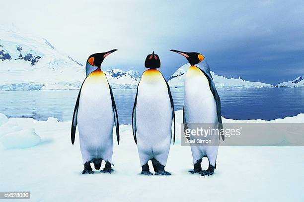 three king penguins - koningspinguïn stockfoto's en -beelden