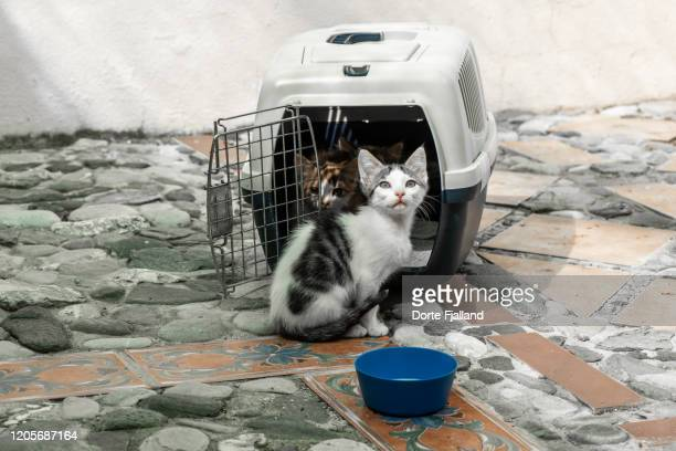 three kittens arriving to their new home. two kittens still in their travelling case and the bravest one just out of the case - dorte fjalland stock pictures, royalty-free photos & images