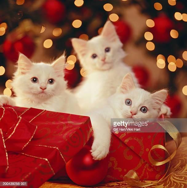 three kittens in gift box, christmas tree in background - 三匹 ストックフォトと画像