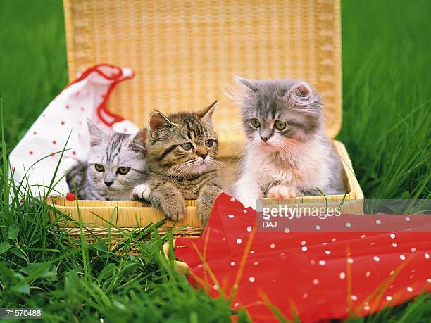 Three Kittens Sitting in a Basket, Surrounded By Grass, Looking in Different Directions, Differential Focus