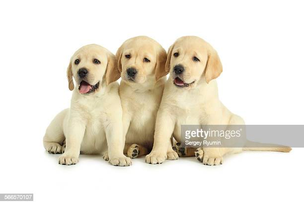 Three labrador retriever puppies isolated on white