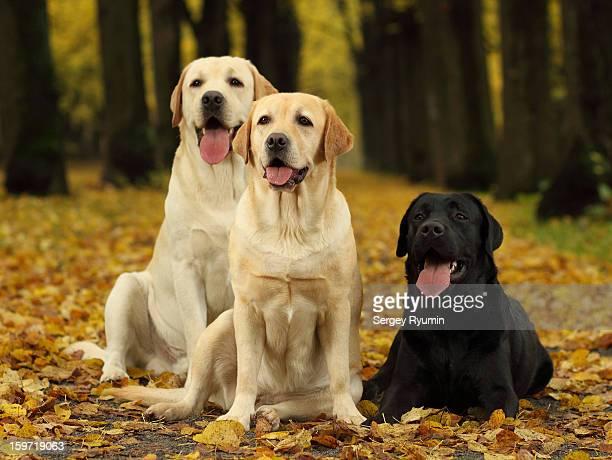 three labradors in the park. - in the park day 3 imagens e fotografias de stock