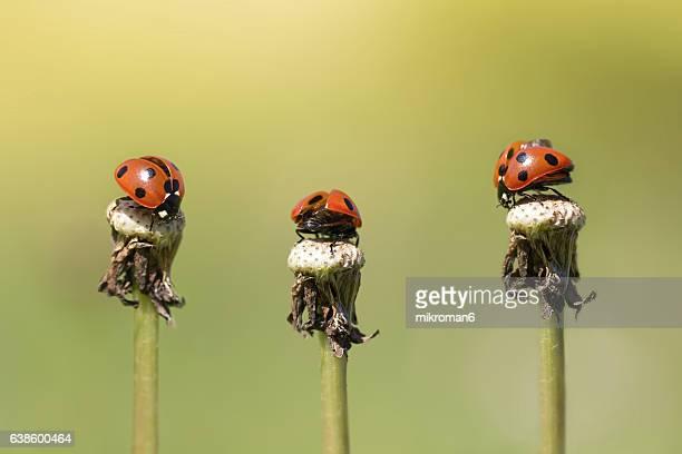 three ladybirds - feuille de pissenlit photos et images de collection