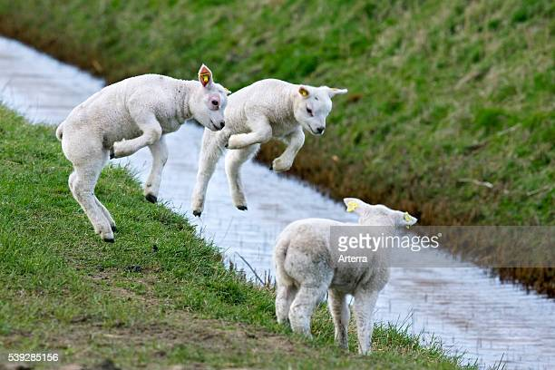 Three lambs playing / jumping in field with brook
