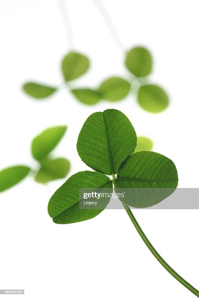 three leaf clover : Stock Photo
