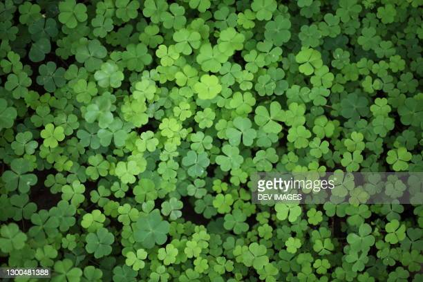 three leaf clovers -shamrock leaves close up - luck stock pictures, royalty-free photos & images