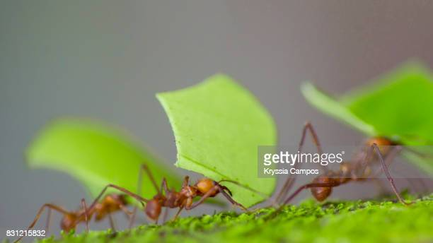 three leaf cutter ants with sections of leaves, costa rica - ants stock pictures, royalty-free photos & images