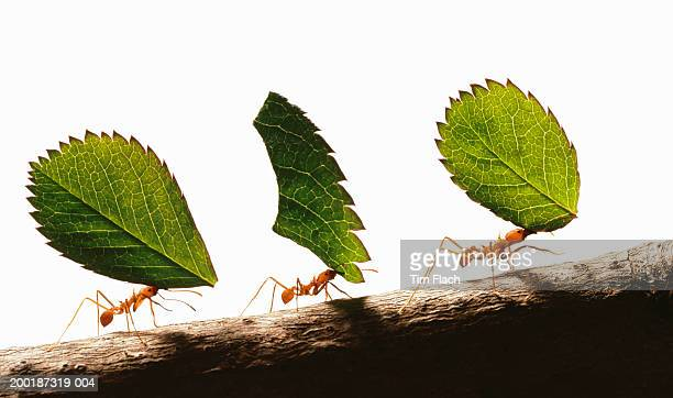 Three leafcutter ants (atta cephalotes) carrying leaves, close-up