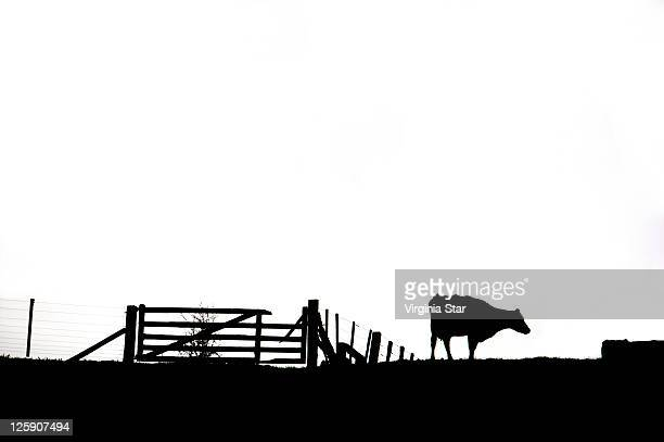 Three legged cow beside fence