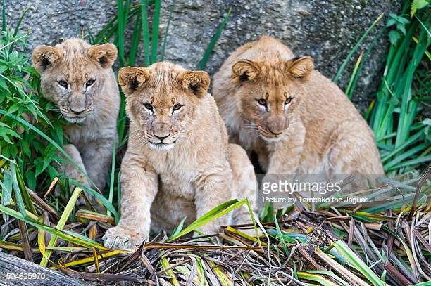 Three lion cubs among plants