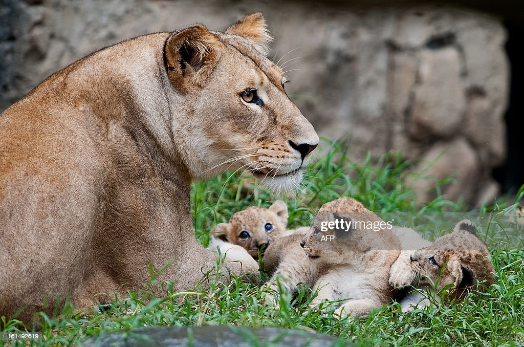 Three lion cubs born in captivity twenty days ago, play with their mother at the zoo in Cali, Valle del Cauca department, Colombia, on February 11, 2013.