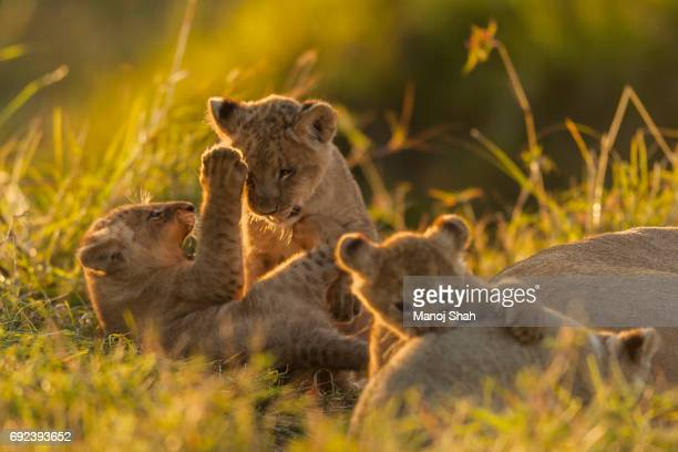 three lion cubs playing - mammal stock pictures, royalty-free photos & images