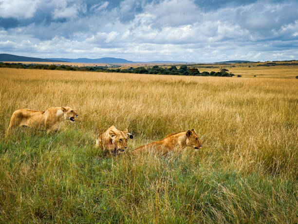 Three lioness attack together, in Masai Mara National Reserve Kenya  travel 2021.