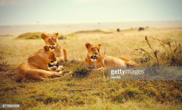 three lionesses resting in masai mara reserve - three animals stock pictures, royalty-free photos & images