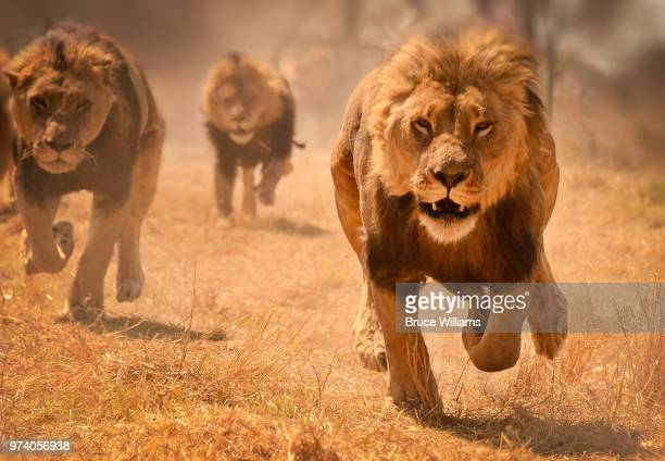 three lions running, zimbabwe - lion feline stock pictures, royalty-free photos & images