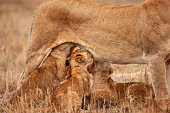 its side shot lioness nursing its