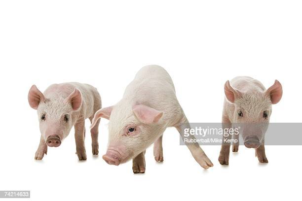 three little pigs - three little pigs stock photos and pictures
