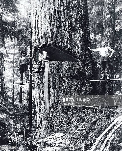 Three loggers two on a springboard and one in the undercut pose by a large Douglas fir ready for felling Oregon