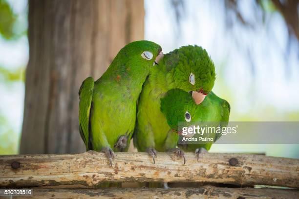 Three Love Birds