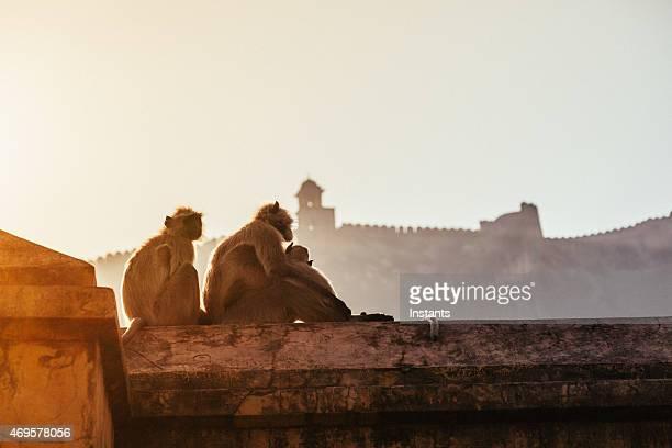 Drei Makaken