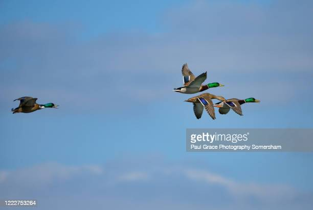 three male and one female mallards in flight - drake stock pictures, royalty-free photos & images