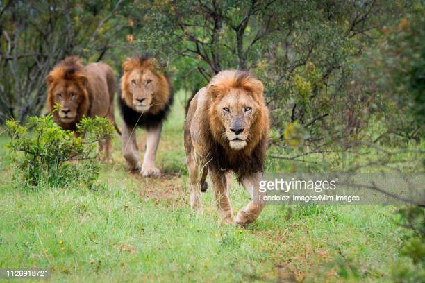 three male lions, panthera leo,walk together in green grass, direct gaze - small group of animals stock pictures, royalty-free photos & images