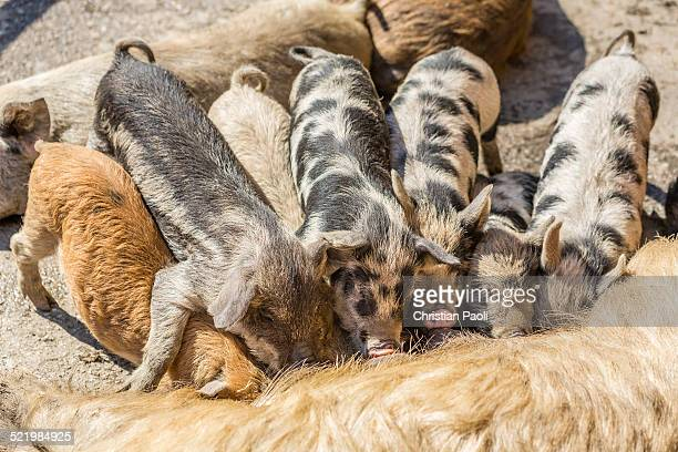 Three Mangalitsa pigs and four black-speckled Turopolje pigs -Sus scrofa domestica-, piglets suckling, Tyrol, Austria