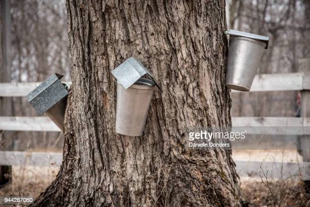 "three maple sap buckets tapped into the same large tree trunk - ""danielle donders"" stock pictures, royalty-free photos & images"