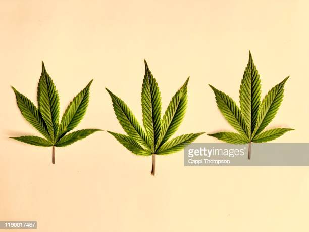 three medical cannabis leaves on a white background - drogue photos et images de collection