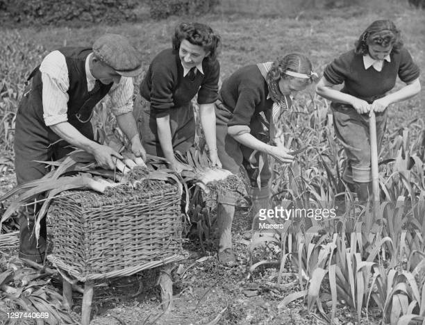 Three members of the Women's Land Army and a male farm worker digging up the late leek plant crop on 9th May 1941 at Cropthorne Farm near Pershore in...