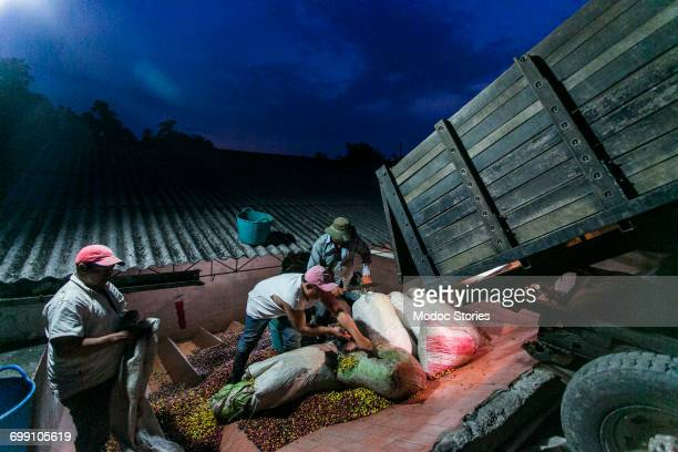 Three men work to unload freshly harvested bags of coffee beans at processing facility in rural Colombia.