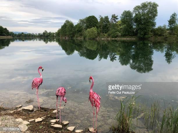 Three metallic greater flamingos at lake side, near Bern, Switzerland