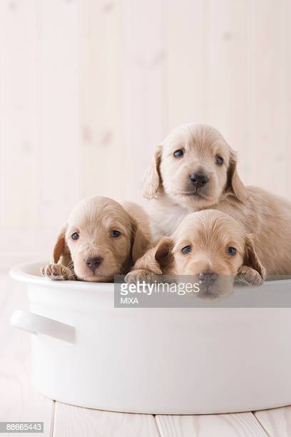 Three miniature dachshund in a container