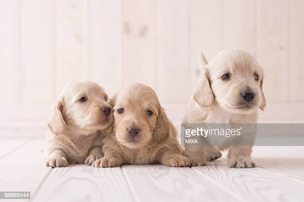 Three miniature dachshund lying on floor