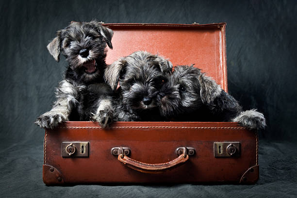 Three Miniature Schnauzer Puppies In Old Suitcase Wall Art