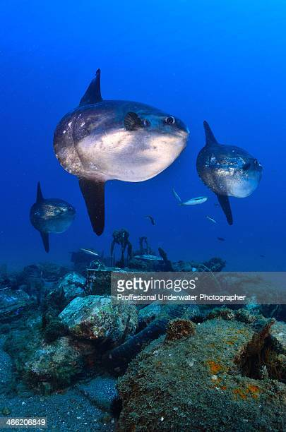 Three Mola Mola