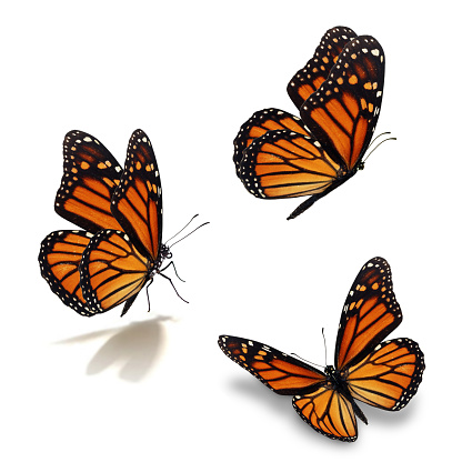 three monarch butterfly 518255346