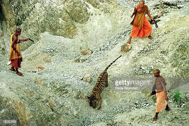 Three monks try to catch a tiger that was reluctant to return to its cage June 5, 2001 at the Wat Pa Luangta Bua monastery in Kanchanaburi, Thailand....