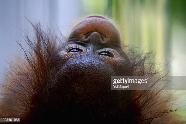 Three month old Orangutan 'Rika' poses for the camera at Bintan Zoo on September 17 2011 in Bintan Island Indonesia Orangutans are a species of...